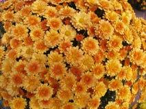 pomarańczowy mamami żółty Zdjęcia Royalty Free