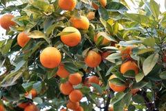 pomarańczowy mandarynki drzewo Fotografia Stock