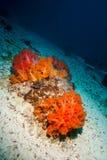Pomarańczowy miękki koral w Derawan, Kalimantan, Indonezja podwodna fotografia obrazy royalty free