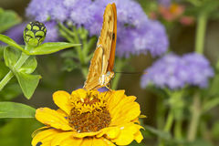 Pomarańczowy motyl na żółtym kwiacie Zdjęcia Royalty Free