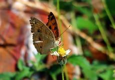 Pomarańczowy motyl na małym kwiatu płatku obraz stock