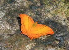 Pomarańczowy motyl na skale obraz royalty free
