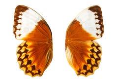 pomarańczowy motyl uskrzydla z białymi punktami pojedynczy białe tło fotografia royalty free