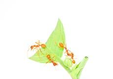 Pomarańczowy mrówki pobyt na wierzchołka zieleni liść Obrazy Royalty Free