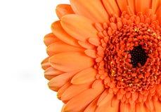 Pomarańczowy nagietka Gerbera kwiat Makro- obrazy royalty free