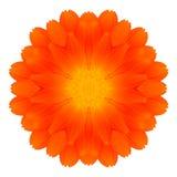 Pomarańczowy nagietka mandala kwiatu kalejdoskop Odizolowywający na bielu Zdjęcie Royalty Free