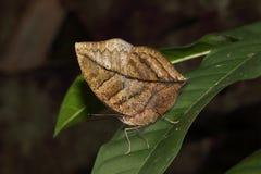 Pomarańczowy oakleaf lub nieżywy liścia motyl, Kallima inachus, umieszczający na liściu Fotografia Stock