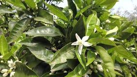 Pomarańczowy okwitnięcie kwitnie na Pomarańczowym drzewie zbiory wideo