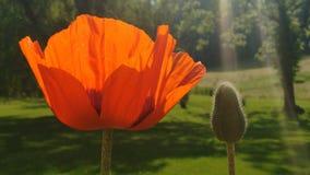 Pomarańczowy orientalny maczek i pączek obrazy stock