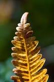 Pomarańczowy paprociowy liść Fotografia Stock