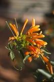 Pomarańczowy pięcie kwiat Obraz Royalty Free