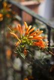 Pomarańczowy pięcie kwiat Zdjęcia Royalty Free