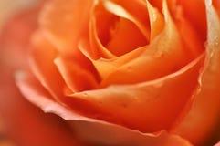 Pomarańczowy piękno wzrastał Zdjęcie Royalty Free