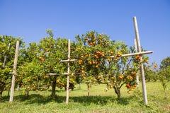 Pomarańczowy sad w północnym Tajlandia obrazy royalty free
