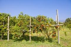 Pomarańczowy sad w północnym Tajlandia Zdjęcia Stock