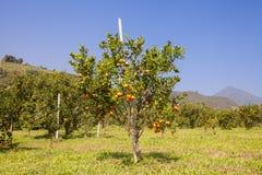 Pomarańczowy sad w północnym Tajlandia fotografia royalty free