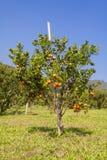 Pomarańczowy sad w północnym Tajlandia fotografia stock