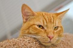 Pomarańczowy tabby kot z menchiami ostrożnie wprowadzać kłaść na łóżku fotografia stock
