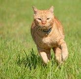 Pomarańczowy tabby kota działający post w kierunku widza Zdjęcia Royalty Free