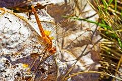 Pomarańczowy Tułaczy Szybowcowy Dragonfly obraz stock
