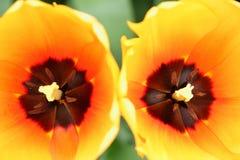 Pomarańczowy tulipanowy zbliżenie Fotografia Royalty Free