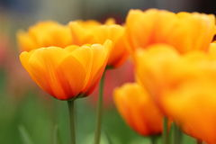 Pomarańczowy tulipanowy zbliżenie Obrazy Royalty Free