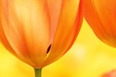 Pomarańczowy tulipanowy zbliżenie Obraz Royalty Free