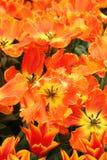Pomarańczowy tulipanowy zbliżenie Obrazy Stock
