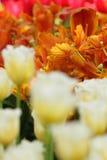 Pomarańczowy tulipanowy zbliżenie Zdjęcie Royalty Free
