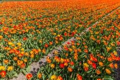 Pomarańczowy tulipanu pole w pełnym kwiacie podczas wiosny w holandiach zdjęcie royalty free