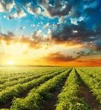 Pomarańczowy zmierzch w dramatycznym niebie nad zieleni polem z tomat fotografia royalty free