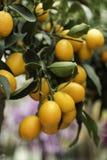 Pomarańczowych Kumquats Zamknięty Up Fotografia Stock