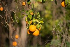 Pomarańcze Obraz Royalty Free