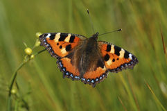 Pomarańcze buuterfly 2 Fotografia Stock