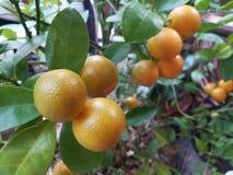 Pomarańcze garnek Obrazy Royalty Free