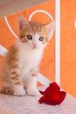 Pomarańcze i biel figlarka z kwiatem Obraz Stock