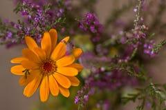 Pomarańcze i purpur kwiaty zdjęcia royalty free