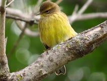 Pomarańcze Koronowany Warbler Fotografia Stock