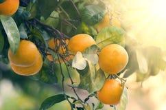 Pomarańcze na drzewie Fotografia Stock