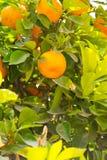 Pomarańcze na drzewie Obrazy Royalty Free