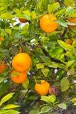 Pomarańcze na drzewie Obrazy Stock
