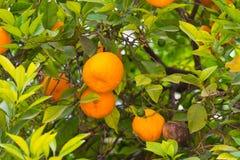 Pomarańcze na drzewie Zdjęcie Stock