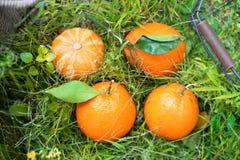 Pomarańcze na trawie obrazy royalty free
