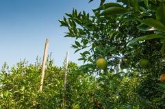 Pomarańcze ogród z niebieskim niebem Fotografia Royalty Free