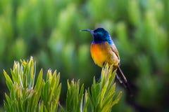 Pomarańcze sunbird Obrazy Stock