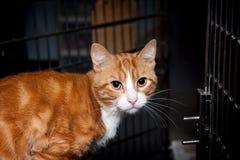 Pomarańcze Tabby Schroniskowy kot Zdjęcie Stock