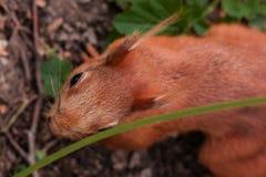 pomara?cze wiewi?rka pomarańczowa puszysta wiewiórka szuka dokrętki w lesie, zakończenie w górę dzikiego natura portreta zdjęcia stock