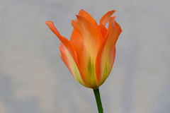 Pomarańcze Wymarzony Tulipanowy kwiat Zdjęcia Royalty Free