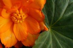 Pomarańczowa begonia fotografia royalty free