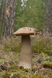 Pomara?czowa brzozy Bolete pieczarka (Leccinum versipelle) Fotografia Royalty Free
